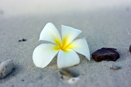 Temple tree flower lying on the beach Stock Photo - 4758964