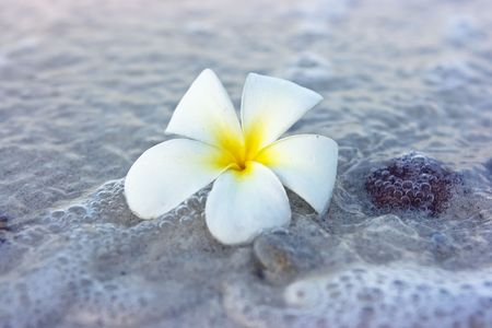 Temple tree flower lying on the beach Stock Photo - 4758946