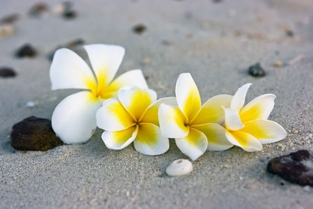 Temple tree flowers lying on the beach Stock Photo - 4758978