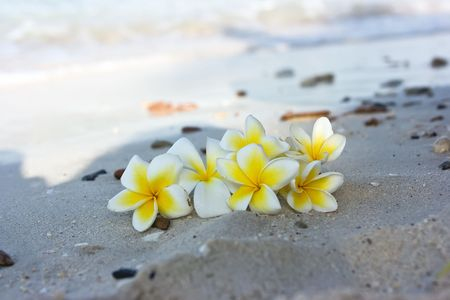 Temple tree flowers lying on the beach Stock Photo - 4758955