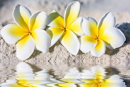 Temple tree flowers on the summer beach Stock Photo - 5162932