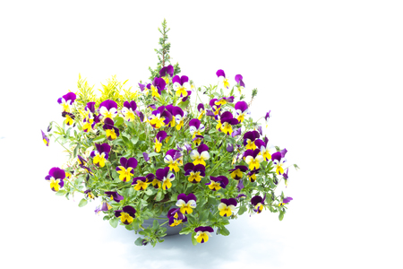 Tricolor pansy flower plant of spring time isolated in white background - violet, yellow and white