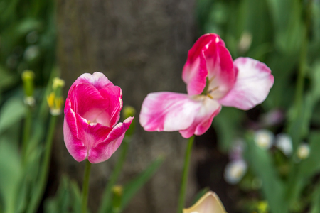matherday: Tulips in a garden. Two dark pink and white with a tree and grass on the background Stock Photo