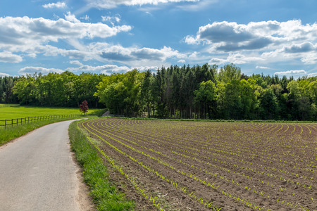 Young corn crop furrows, plantation, cultivated agricultural field, agriculture and organic production with a road on the side and puffy clouds and a forest on the background Stock Photo