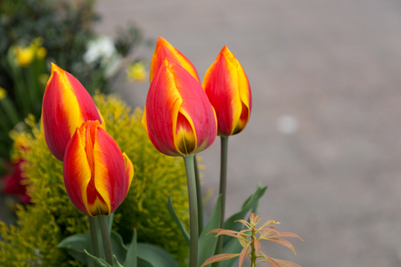 Red and vibrant yellow tulips. Four of them on the european spring. Zdjęcie Seryjne
