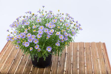 Brachyscome 花紫の拡張と竹に闇鍋に黄色の中央 (キク科) マットに孤立した白い背景 写真素材 - 79808214