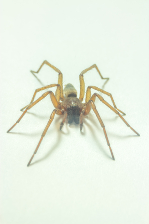 Brown home spider isolated on white background - macro Stock Photo