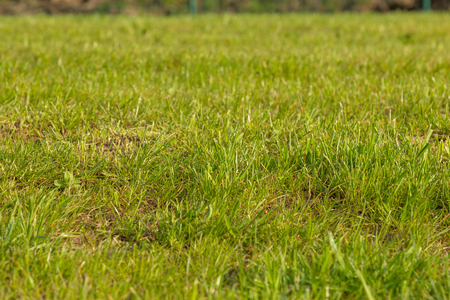 Rustic green lawn grass with the center in focus