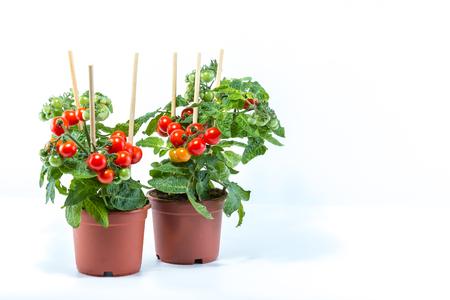 ホームが白の背景に茶色の鉢に植え、それに掛かっているミニのフレッシュ トマトと有機チェリー トマトの木を栽培