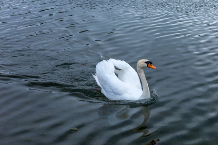 cygnet: Swan swimming on the bright water of a european lake