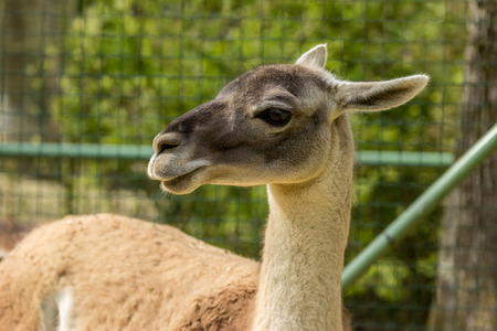 Close-up of a Guanaco  on a park Stock Photo