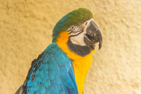 Macaw blue and yellow in portrait image Stock Photo