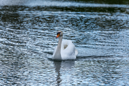 Swan swimming on the bright water of a european lake - front view Stock Photo
