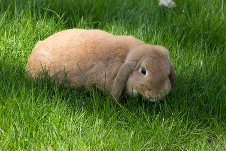 lop lop rabbit white: Brown lop eared bunny rabbit eating green grass Stock Photo