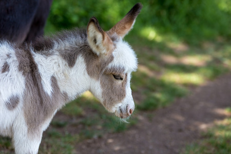 Baby donkey white and light brown in a forest - profile picture with the ears up