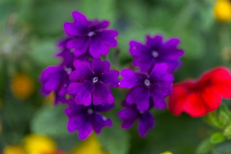 Tiny violet dark purple flowers with green leaves on the blurry stock photo tiny violet dark purple flowers with green leaves on the blurry background macro image mightylinksfo