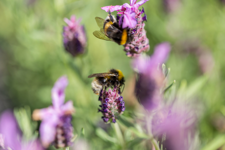 Two furry bumblebees bees collecting nectar from a lilac purple flower