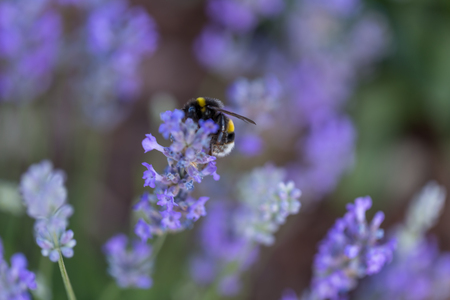 Humble-bee bumble bee in a field of lavander flowers blurred background close up macro