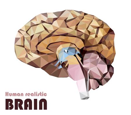 Realistic human brain in low poly. Colorful dissected brain. Brain Bisection. Cerebrum, epithalamus brain stem, cerebellum, cortex, thalamus, hippo campus, hypothalamus, cerebral lobes. Illustration