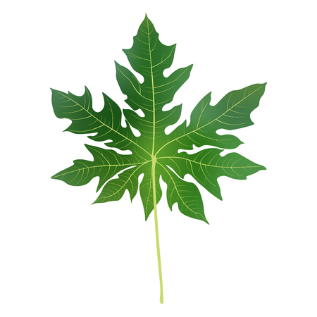 Papaya leaves background for banner, celebration, holiday, packaging, poster. Realistic 3d leaf vector.
