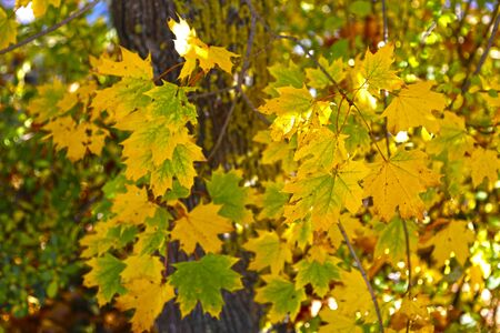 Maple tree with yellowed and green autumn leaves against a blue sky