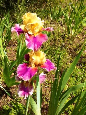 iris fiore: Iris fiore Archivio Fotografico