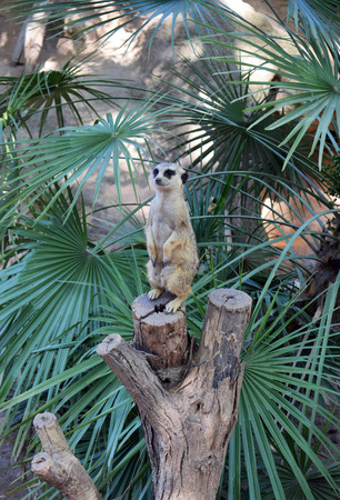 Suricata, zoo animals