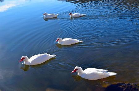 Ducks in Pantano de Santa Fe El Montseny Barcelona