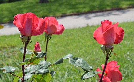 Roses in the Cervantes Park of Barcelona