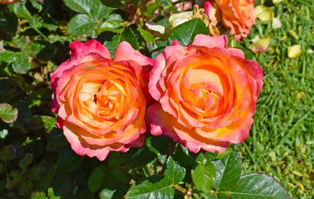 Roses in Cervantes Park, Barcelona Spain
