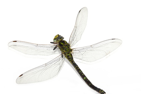 Giant dragonfly on a white background photo