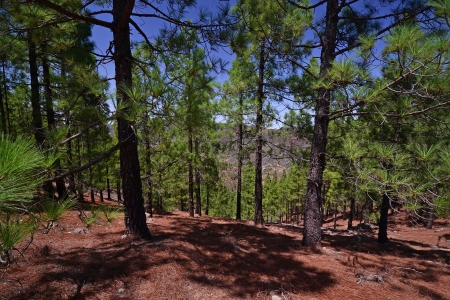 unpretentious: Pine forest on a mountain descent