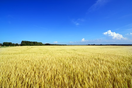 View of a wide field of wheat photo