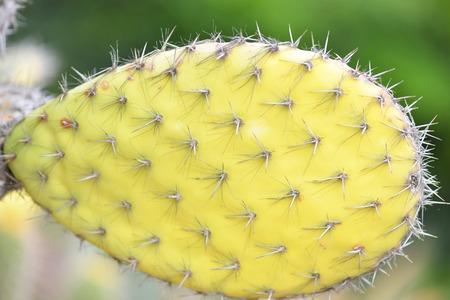 tenon: green cactus close-up. macro Stock Photo