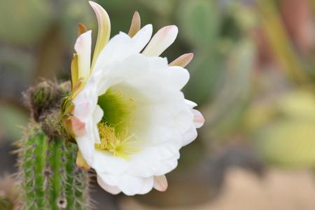 tenon: green cactus flower close-up. macro Stock Photo