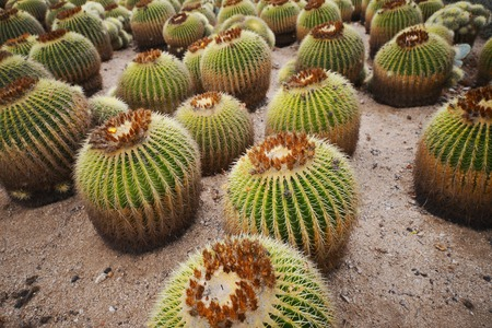 tenon: many big cacti growing in the botanical garden