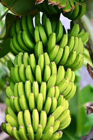 vealy: green stem of bananas hanging on a palm tree