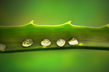 vealy: water drops on a green leaf. morning dew