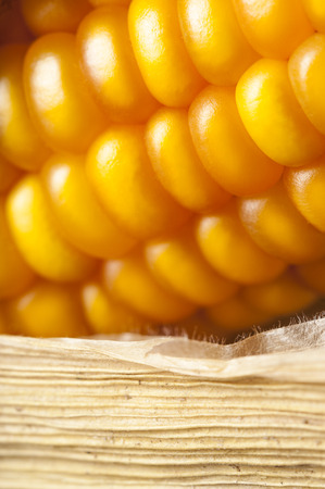 uncluttered: Close-up of an golden corn on the cob with dry sheet in studio shot