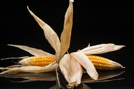 Twin corn of the cobs with peeled dry sheets on a black background in a studio shot with reflections photo