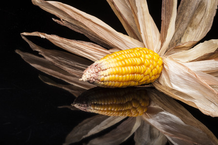 uncluttered: Still life of ripe corn cobs freshly harvest in autumn  Modern and uncluttered composition in studio on black background with reflections