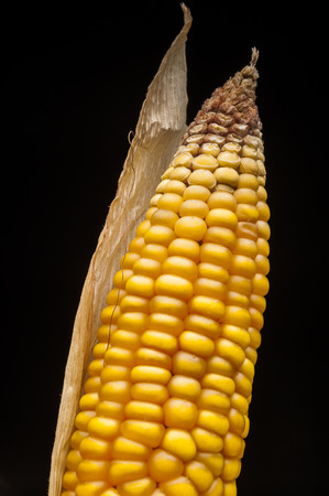 uncluttered: Closeup of golden dry corn freshly harvest in autumn  Modern and uncluttered composition in studio on black background