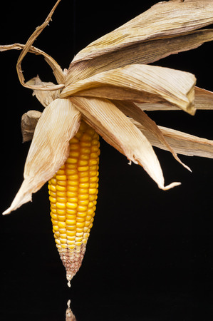 uncluttered: Still life of ripe corn cobs freshly harvest in autumn  Modern and uncluttered composition with copy space in studio on black background  Stock Photo