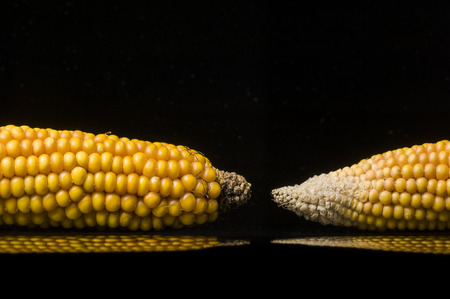 uncluttered: Closeup of golden dry corns shooting in studio on black background  with reflections  Modern and uncluttered composition with copy space  Stock Photo