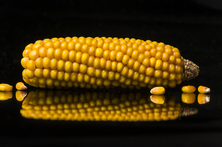 uncluttered: Single ear of corn with several corn crops on black background with reflections  Modern and uncluttered composition