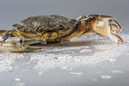 uncluttered: Closeup of one delicious green crab with open claw  Modern still life with copy space  Shooting studio on wet polish silver background