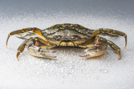 uncluttered: One delicious green crab on wet polish silver background in studio  Modern and minimalist still life
