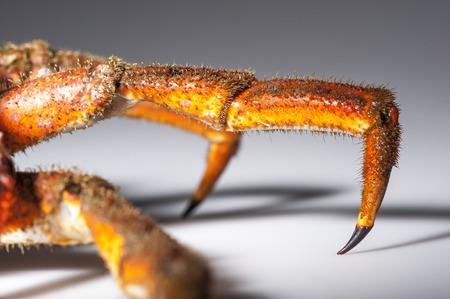 hairy legs: Hairy legs close up of European spider crab  Maja Squinado  in studio with macro lens