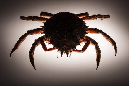 forerunner: Scary and spiny figure of European spider crab  Maja Squinado  in studio on backlighting