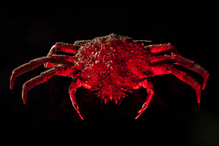 forerunner: High angle view of European spider crab  Maja Squinado  full length  Shooting on black background in studio with hot mixed lighting